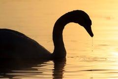 Silueta del descenso del cisne y del agua Fotografía de archivo libre de regalías