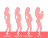 Silueta del embarazo, etapa del embarazo, trimestres, parto Ilustración del vector Fotografía de archivo libre de regalías