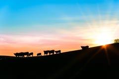 Silueta del ganado en una cuesta por la tarde Fotos de archivo