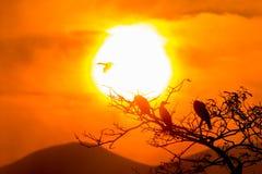 Silueta del grandes cormorán y árbol con salida del sol fotos de archivo libres de regalías