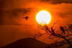 Silueta del grandes cormorán y árbol con salida del sol foto de archivo
