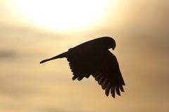 Silueta del halcón Imágenes de archivo libres de regalías