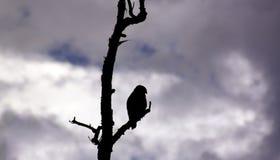 Silueta del halcón Imagenes de archivo