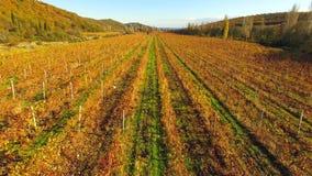 Silueta del hombre de negocios Cowering Filas amarillas de los viñedos en el otoño almacen de video