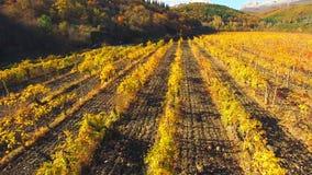 Silueta del hombre de negocios Cowering Filas de los campos de las uvas en la temporada de otoño almacen de video