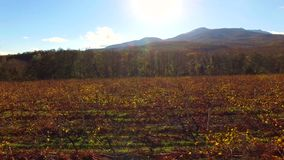 Silueta del hombre de negocios Cowering Viñedos secos contra Sun brillante en el otoño metrajes
