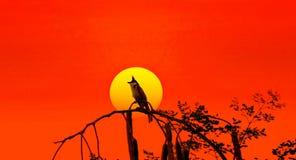 Silueta del jocosus de Pycnonotus en la puesta del sol Imagen de archivo libre de regalías