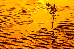Silueta del kandelia en la puesta del sol de oro foto de archivo libre de regalías
