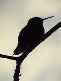 Silueta del pájaro del tarareo Imagenes de archivo