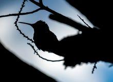 Silueta del pájaro del tarareo Foto de archivo