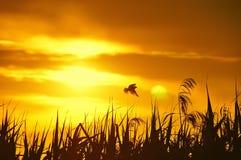 Silueta del pájaro y de la hierba en la puesta del sol Fotografía de archivo libre de regalías
