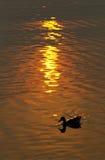 Silueta del pato en la charca con puesta del sol Fotografía de archivo