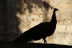 Silueta del pavo real Fotografía de archivo libre de regalías