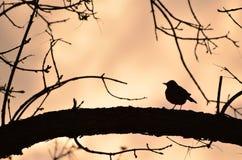 Silueta del petirrojo delante de la puesta del sol foto de archivo