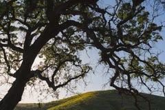 Silueta del roble del valle en California meridional Imagen de archivo