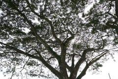 Silueta del toldo de árbol Foto de archivo libre de regalías