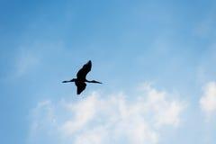 Silueta del vuelo del pájaro, cigüeña Abierto-cargada en cuenta Imágenes de archivo libres de regalías
