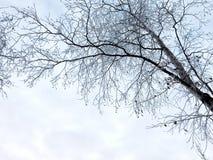 Silueta escarchada de una rama del abedul con un cielo entre bastidores Rusia foto de archivo libre de regalías