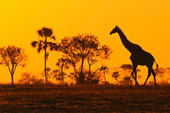 Silueta idílica de la jirafa con la igualación de la puesta del sol anaranjada y de los árboles, Botswana, África fotos de archivo
