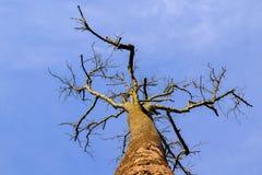 Silueta muerta del árbol corona seca del roble sin las hojas Fotos de archivo libres de regalías