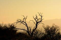 Silueta muerta del árbol del Mesquite en desierto en la puesta del sol Fotografía de archivo