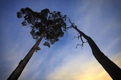 Silueta muerta y viva del árbol Imagen de archivo libre de regalías