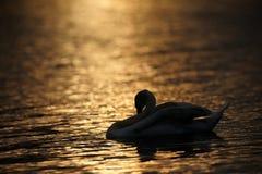Silueta si cisne que se atusa en la puesta del sol Foto de archivo