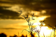 Silueta tropical de la hierba en los tiempos de la puesta del sol Fotografía de archivo