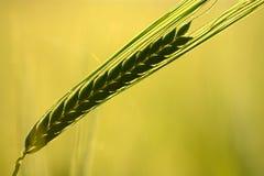 Silueta verde del oído del trigo Imagen de archivo libre de regalías