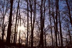 Siluetas de árboles altos en la puesta del sol en el bosque Imágenes de archivo libres de regalías