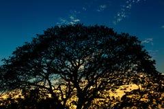 Siluetas de árboles grandes en el cielo. Fotografía de archivo libre de regalías