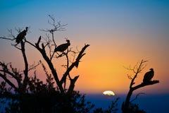 Siluetas de buitres en un árbol en la puesta del sol Fotos de archivo libres de regalías