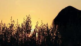 Siluetas de caballos en la puesta del sol almacen de video