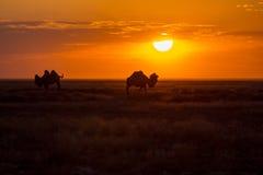 Siluetas de camellos contra la perspectiva de una puesta del sol en el desierto Fotografía de archivo