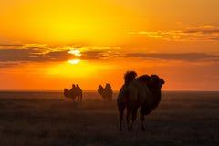 Siluetas de camellos contra la perspectiva de una puesta del sol en el desierto Foto de archivo