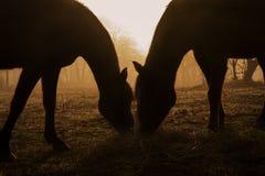 Siluetas de dos caballos que comparten el heno Fotografía de archivo