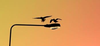 Siluetas de dos gaviotas que aterrizan en un poste de la lámpara en la puesta del sol imagen de archivo libre de regalías