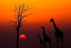 Siluetas de jirafas contra fondo de la puesta del sol Fotos de archivo libres de regalías