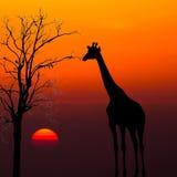 Siluetas de jirafas contra fondo de la puesta del sol Imagen de archivo libre de regalías