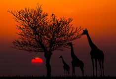 Siluetas de jirafas y del árbol muerto Foto de archivo libre de regalías
