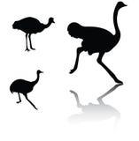Siluetas de la avestruz Imágenes de archivo libres de regalías