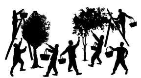 Siluetas de la gente que cosecha la fruta Foto de archivo libre de regalías