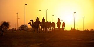Siluetas de la puesta del sol del club el competir con de camello de Dubai de camellos Imagen de archivo libre de regalías