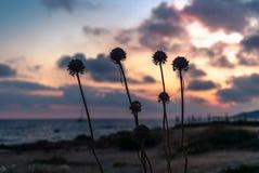 Siluetas de las flores en la orilla en Córcega en la puesta del sol Foto de archivo libre de regalías