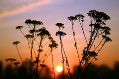 Siluetas de las flores y del sol de la madrugada Imagen de archivo libre de regalías