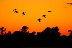 Siluetas de las grúas de Sandhill en la puesta del sol Foto de archivo libre de regalías