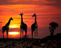 Siluetas de las jirafas en la puesta del sol Imagen de archivo libre de regalías