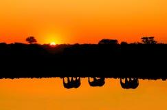 Siluetas de las reflexiones de la familia del elefante que pasan la costa de un lago Fotografía de archivo libre de regalías