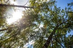 Siluetas de los árboles de abedul verdes Fotos de archivo libres de regalías