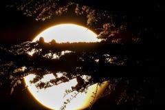 Siluetas de los conos, de las ramas y de las agujas del cedro contra la Luna Llena casi imágenes de archivo libres de regalías